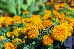 A dwarf marigold. Studentenblume in a garden stock photo