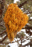 Dwarf Mistletoe. (Arceuthobium americanum) is a parasitic seed plant that is destructive to many cash crop trees, especially Lodgepole Pine.  Mostly eradicated Stock Photography