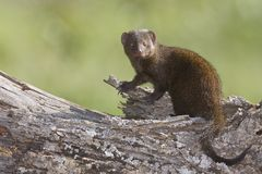 Dwarf Mongoose Royalty Free Stock Photography