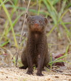 Dwarf Mongoose. Small Dwarf Mongoose sitting and staring Royalty Free Stock Image