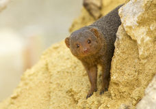 Dwarf Mongoose Royalty Free Stock Images