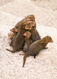Dwarf mongoose Stock Images
