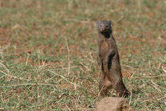 Dwarf Mongoose. Helogale parvula, standing in alert posture Royalty Free Stock Image