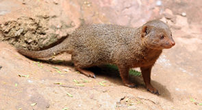 Dwarf mongoose Stock Photos