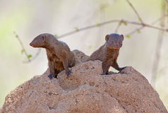 Dwarf Mongoose Royalty Free Stock Photos
