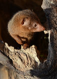 Dwarf Mongoose Stock Photography
