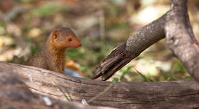 The Dwarf Mongoose. A cute and lovely Dwarf Mongoose (Helogale parvula) in an always alert attitude Royalty Free Stock Photography