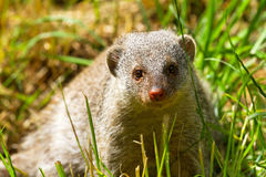 Dwarf mongoose. On a sunny day in the park Stock Photography