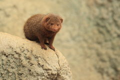 Dwarf mongoose. The dwarf mongoose sitting on the rock Stock Photography