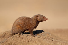 Dwarf mongoose. Alert dwarf mongoose (Helogale parvula, South Africa Stock Photo