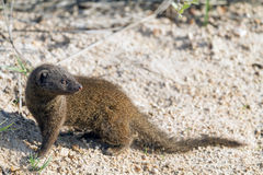 Dwarf Mongoose Stock Photo