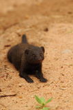 Dwarf mongoose. In the early morning in Kruger National Park Royalty Free Stock Image