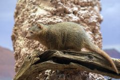Dwarf mongoose from africa portrait Stock Image