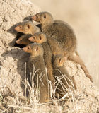 Dwarf mongoose. Africa, Tanzania Serengeti National Park, dwarf mongoose Royalty Free Stock Photo