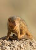 Dwarf mongoose Royalty Free Stock Image