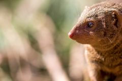 Dwarf mongoose. African wildlife with small mammal in close up Stock Photo