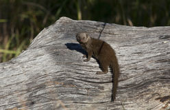 Dwarf Mongoose - Botswana Stock Photo
