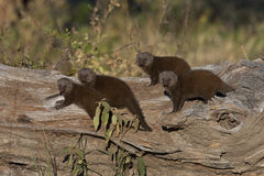 Dwarf Mongoose - Botswana Royalty Free Stock Images