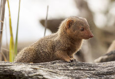 Dwarf Mongoose Stock Image