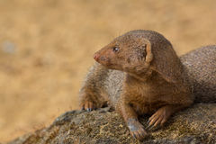 Dwarf mongoose in close up with copy space. Cute wild animal in Royalty Free Stock Image