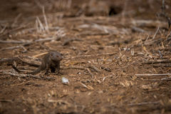 A Dwarf mongoose on the dirt in the Kruger. Stock Image