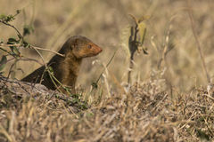 Dwarf Mongoose stock image