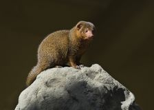 Dwarf mongoose. Sitting on a rock in sunshine Royalty Free Stock Photo