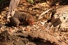 Dwarf Mongoose eating a white mouse Royalty Free Stock Image