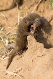 Dwarf mongoose family enjoy afety of their burrow Royalty Free Stock Images
