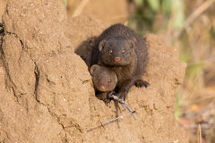 Dwarf mongoose family enjoy the safety of a burrow Stock Image