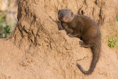Dwarf mongoose family enjoy the safety of a burrow Stock Photos