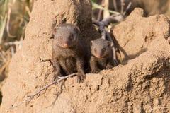 Dwarf mongoose family enjoy the safety of burrow Stock Photos