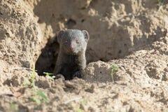 Dwarf mongoose family enjoy the safety of burrow Royalty Free Stock Photo