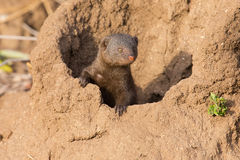 Dwarf mongoose family enjoy safety of their burrow Stock Photo