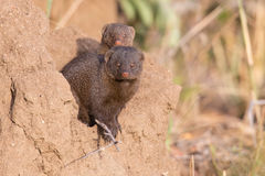 Dwarf mongoose family enjoy safety of their burrow. Dwarf mongoose family enjoy the safety of their burrow Royalty Free Stock Photography