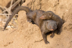 Dwarf mongoose family enjoy safety of their burrow Royalty Free Stock Images