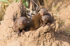 Dwarf mongoose family enjoy safety of their burrow Stock Photos