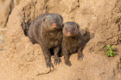 Dwarf mongoose family enjoy safety of their burrow Royalty Free Stock Image