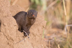 Dwarf mongoose family enjoy safety of their burrow Royalty Free Stock Photos