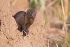 Dwarf mongoose family enjoy safety of their burrow Royalty Free Stock Photos