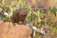 Dwarf mongoose family enjoy safety of their burrow Royalty Free Stock Photography