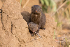 Dwarf mongoose family enjoy safety of their burrow. Dwarf mongoose family enjoy the safety of their burrow Stock Photo
