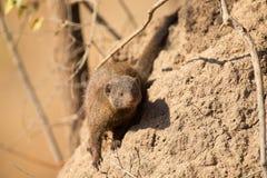 Dwarf mongoose family enjoy safety of their burrow Stock Photo