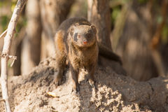 Dwarf mongoose family enjoy safety of their burrow Stock Photos