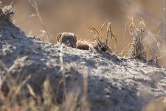Dwarf mongoose family enjoy safety of their burrow. Dwarf mongoose family enjoy the safety of their burrow royalty free stock photography