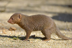 Dwarf mongoose on ground. Dwarf mongoose Helogale parvula on ground seen from profile Royalty Free Stock Photos