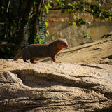 Dwarf Mongoose Helogale parvaula Royalty Free Stock Images