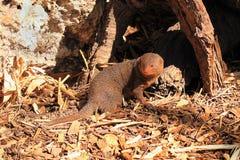 Dwarf Mongoose - Helogale parvula. Turning back towards camera Stock Images