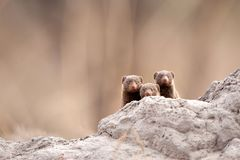 Dwarf mongoose (Helogale parvula). The common dwarf mongoose (Helogale parvula), sometimes just called the dwarf mongoose, is a small African carnivore belonging Stock Photos