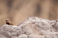 Dwarf mongoose (Helogale parvula) Royalty Free Stock Photo